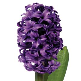 Atlantic Hyacinth