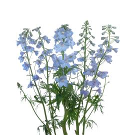Delphinum Light Blue