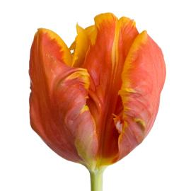 Tulip Fancy Bright Parrot Flower