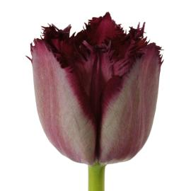 Tulip Fancy Curly Sue flower