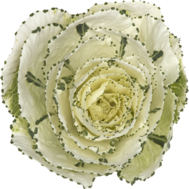 Single White Brassica Kale