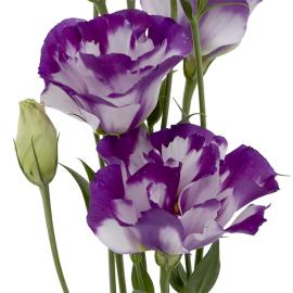 Lisianthus Bi-Purple Flower