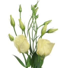 Lisianthus Yellow Flower