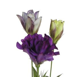 Lisianthus Purple Flower