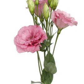 Lisianthus rose flower