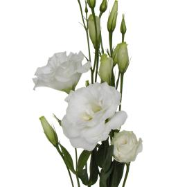 Lisianthus White flower