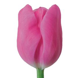 Tulip Mistress Flower
