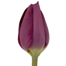 Tulip Purple Lady flower