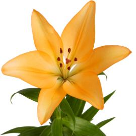 Lily Royal Trinity Flower