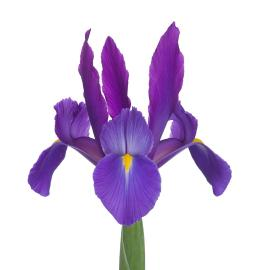 Iris Telstar Elite Flower