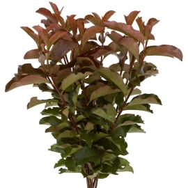Photinia Purple Peter Specialty Branch