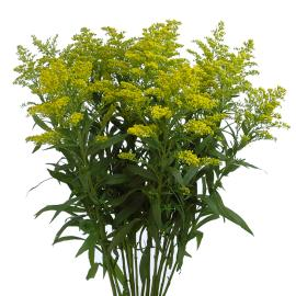 solidago flower