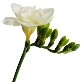 Freesia Versailles Flower