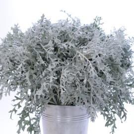 Dusty Miller Flower