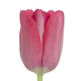 Tulip Redwood Grove French Grand style Flower