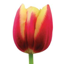 Tulip Leen Van Der Mark Flower