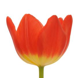 Tulip Red Friendship flower