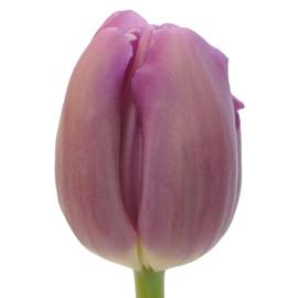 Regular Tulip Bullit Flower