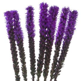 Liatris Flower
