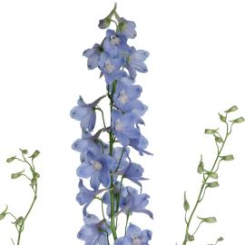 Delphinium Sky Waltz Close UP