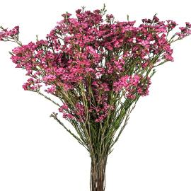 WaxFlower Purple