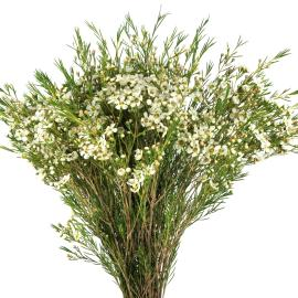 Waxflower White close up