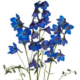 Deliphinium Dark Blue Flower