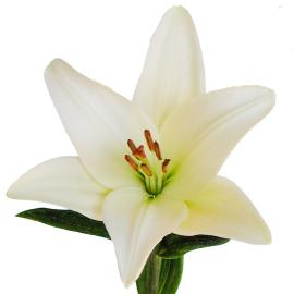 Lily Royal Bach Flower