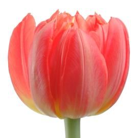 Tulip double Abba Flower