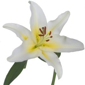 Lily Lilytopia Anais Flower single bloom