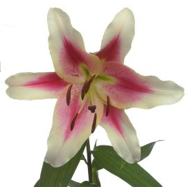 Lily Sonata Candy Club Flower single bloom