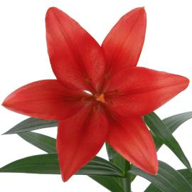 Lily Royal Carmine Diamond Flower single bloom