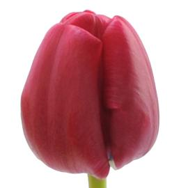 Regular Tulip Cincinnati Flower