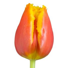 Tulip fancy davenport flower