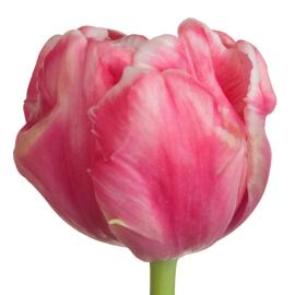 Tulip Fancy Destiny Flower