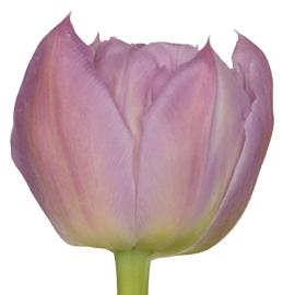 Tulip Double Price flower