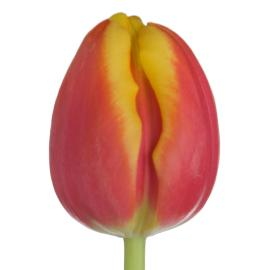 Tulip Dow Jones Flower