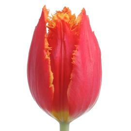 Fancy Tulip Fabio flower