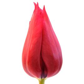 Tulip Hong Kong Flower