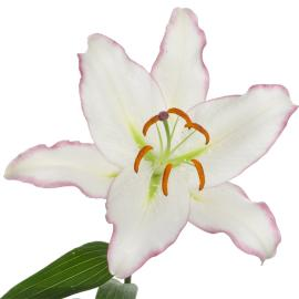 Oriental Lily Hotline Flower single bloom