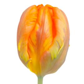 Tulip Fancy Irene Parrot Flower