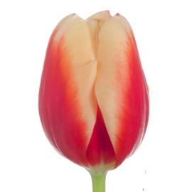Standard Tulip jan Buis flower