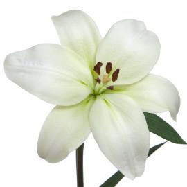 Lily Royal Litouwen flower single bloom