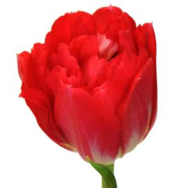 Tulip Magic Price Flower
