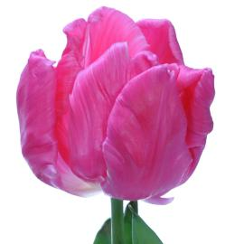 Tulip fancy Marvel Parrot tulip