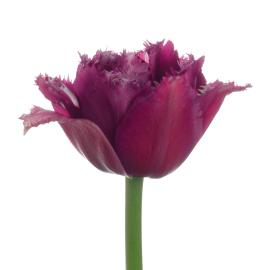Tulip Double  Mascotte Flower