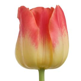 Tulip Match Flower