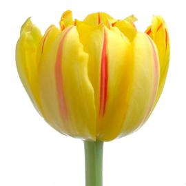 Tulip Double Monsella Flower