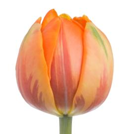 Tulip Fancy Orange Princess flower