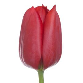 Tulip Regular Pallada Flower
